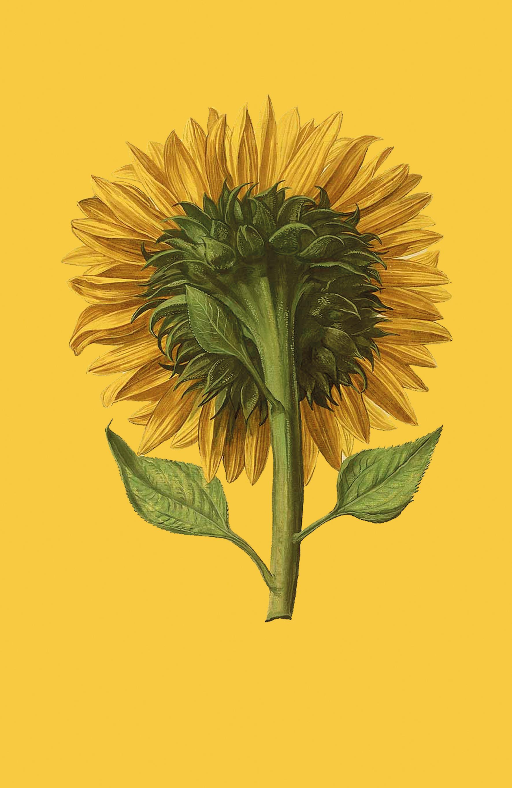sunflower away web